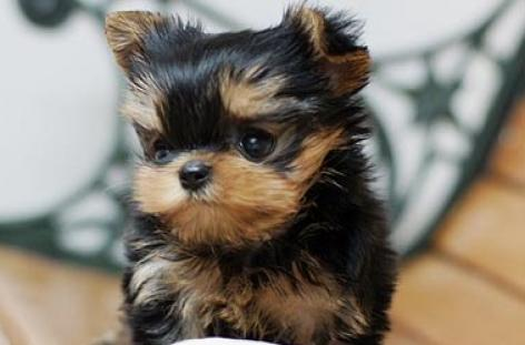 GALO VCACHORROS YORKSHIRE TERRIER -sw333