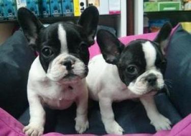 hermosos cachorros bulldog francés disponible