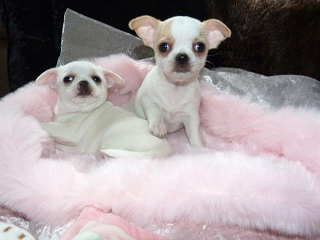 Regalo chihuahua cachorros disponibles