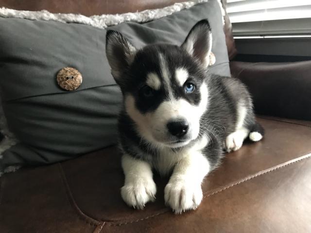 Regalo Preciosos Cachorros Husky Siberiano.tienes Vacunados,