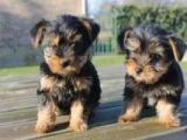 Cachorros de Yorkshire Registrados para Re-Homing