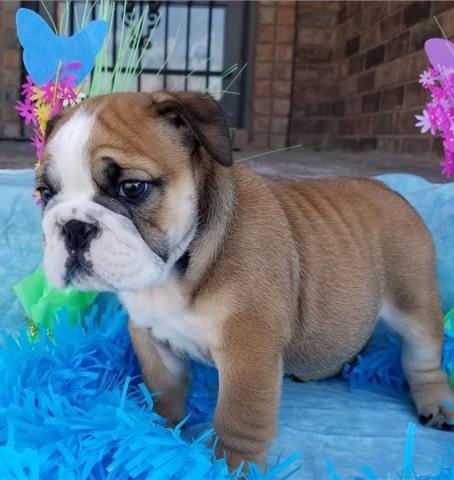Regalo cachorros de bulldog inglés para un nuevo hogar