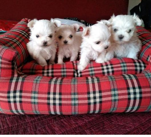 Regalo Cachorros Bichon Maltés Mini Toy Para Su Adopcion