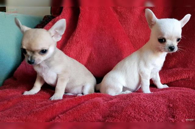 Regalo Cachorros Chihuahua Mini Toy Para Su Adopcion