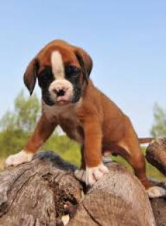 regolo cachorros boxer