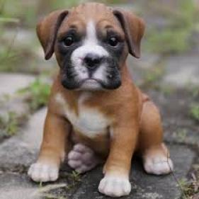 Regalo Cachorros boxer
