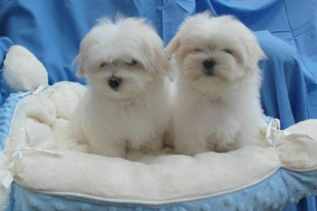 Regalo Mini Toy Cachorros Bichon Maltes para su adopcion libre