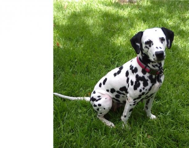 Regalo macho y hembra Dalmatian cachorros