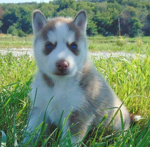 Regalos husky siberiano cachorros