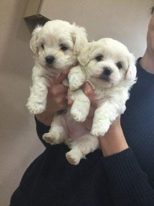 Cachorros Bichon Maltes Mini Toy hombre y mujer