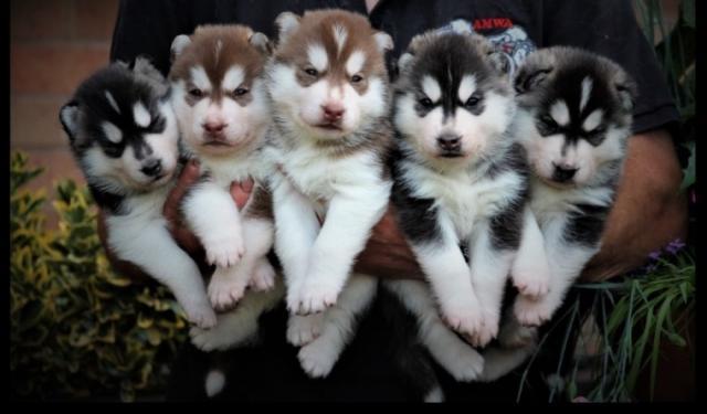 Regalo Cachorros Husky Siberiano Para Su Adopcion