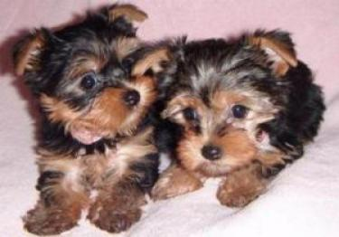 Regalan Cachorros Yorkshire Terrier Mini Toy