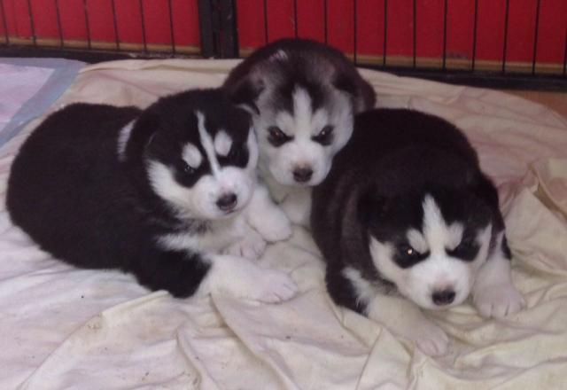 Regalo Preciosos Cachorros Husky Siberiano.tienes Vacunados