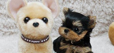 cachorros yorkie Machos y hembras 12 semanas de edad
