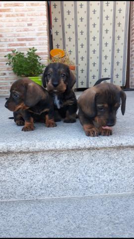 Preciosos cachorros de Teckel pelo duro tamaño standard