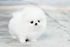 Regalo cachorros lulu pomeranian mini toy, para su adopcion libre