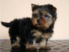 Cachorros de Yorkshire Registrados para Re-Homing