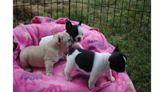 Regalo macho y hembra Bulldog frances cachorros