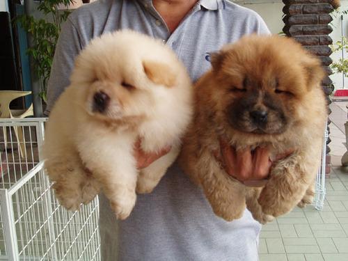 Regalo cachorros de Chow chow