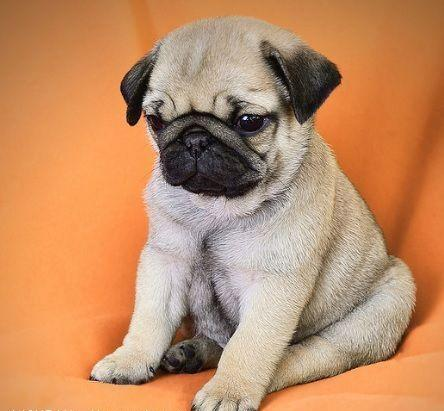 Regalo CARLINO PUG disponible para Adopción