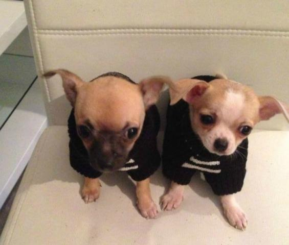 Regalo Cachorros Chihuahua Miniaratura