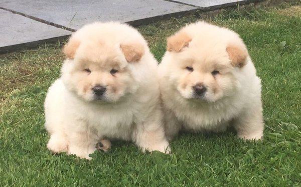 Regalo Camada Cachorros Chow Chow