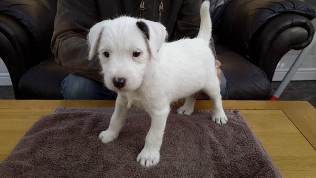 Regalo Impresionate Cachorros Golden Retriever para su adopcion