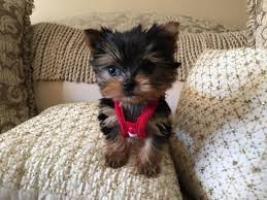 Cachorros de Yorkshire Registrados para regalo