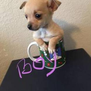 Regalo Preciosa Cachorros De Chihuahua..