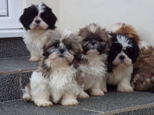 Regalo Shih Tzu cachorro para un nuevo hogar