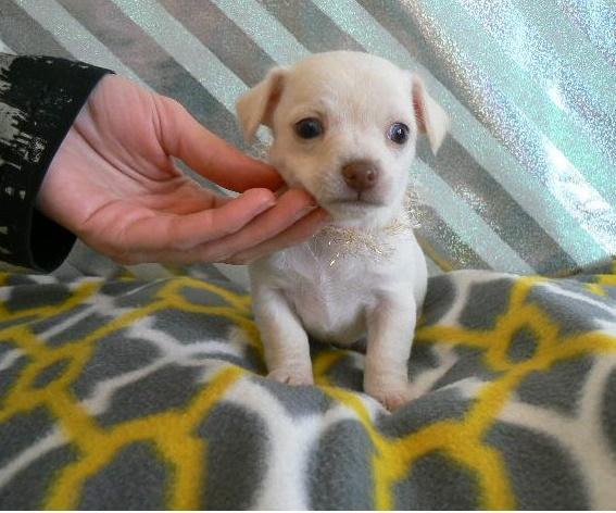 Regalo Chihuahua cachorro para un nuevo hogar
