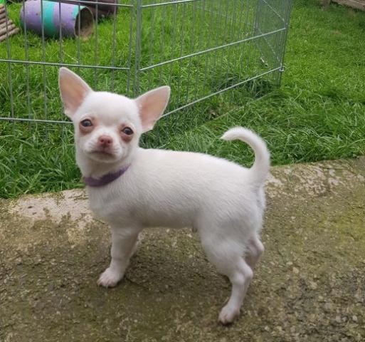 Calidad Chihuahua Cachorros Disponible