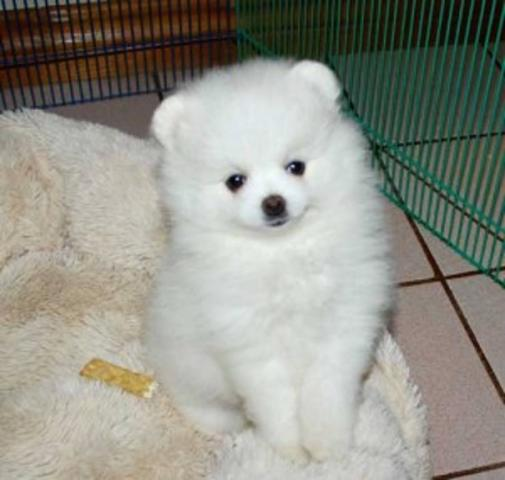 Regalo Pomerania Cachorro Para Su Adopción