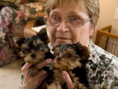 Regalo mini toy yorkshire cachorro para un nuevo hogar