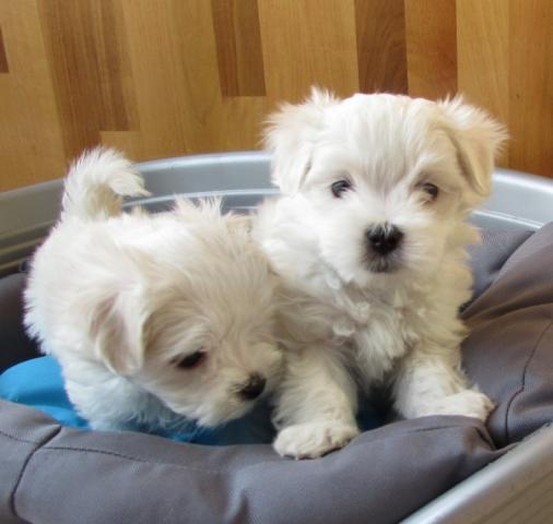 Bichon Maltés Cachorros en busca de un nuevo hogar impresionante