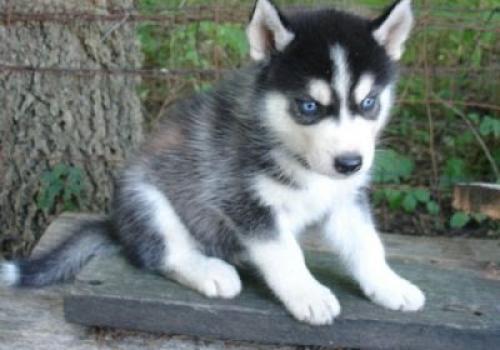 Cachorros husky siberiano azul registr