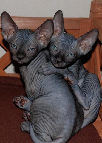 Vacunado SPynx gatitos para adopcion