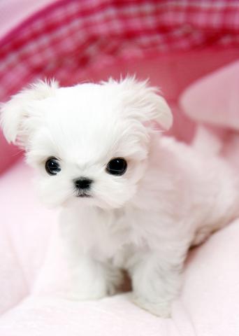 Fantasticos cachorros bichon maltes toy en adopcion
