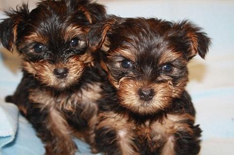 Regalo yorkshire toy cachorros terrier