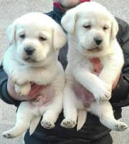 Adorable Labrador Retriever
