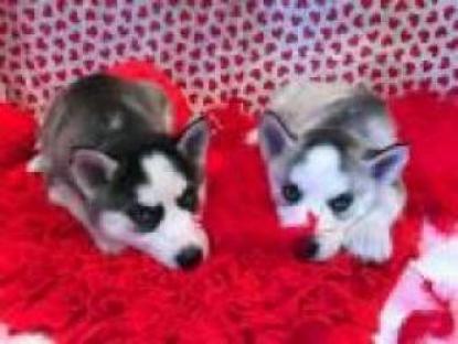 Súper adorable cachorros de Siberian Husky