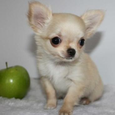 Regalo preciosa chihuahua cachorros en adopcion