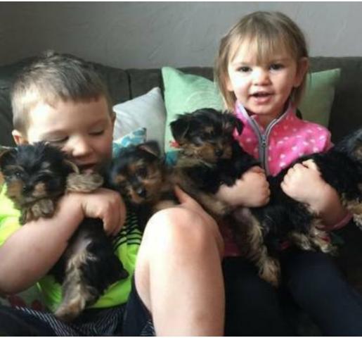 Cachorros de Yorkshire de 11 semanas con excelente temperamento