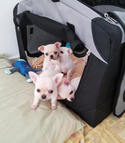 Regalo Chihuahua Cachorros Macho y Hembra Para Adopción