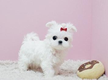 Regalo lindo toy bichon maltes cachorros