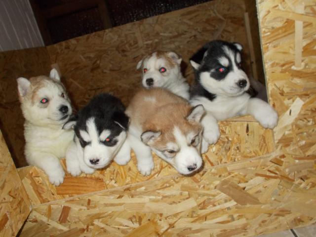Regalo lindo cachorro de husky siberiano para la adopción.