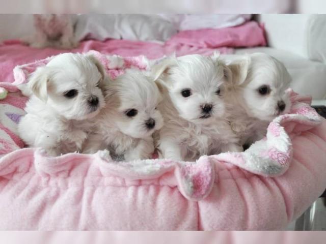 Regalo Preciosos cachorritos de BICHON Maltese