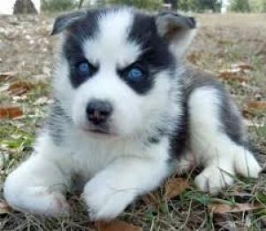 Regalos magníficos cachorros siberian husky