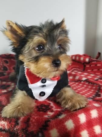 Súper adorables Yorkshire Terrier regalo cachorros para ti