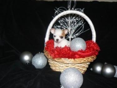 Magníficos cachorros de chihuahua disponibles